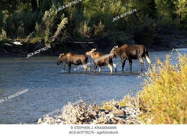 Cow Moose (Alces alces--subspecies, Shiras) with two calves crossing creek. Jackson, WY, USA