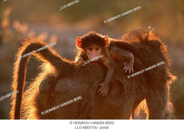Young Chacma Baboon Papio ursinus Riding on its Mothers Back  Kruger National Park, Mpumalanga Province, South Africa