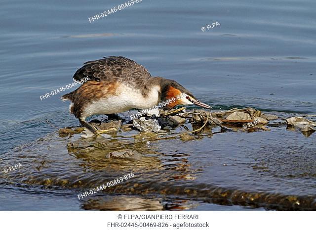 Great Crested Grebe (Podiceps cristatus) adult, breeding plumage, building nest using discarded rubbish floating on surface of water, Lake Geneva, Switzerland