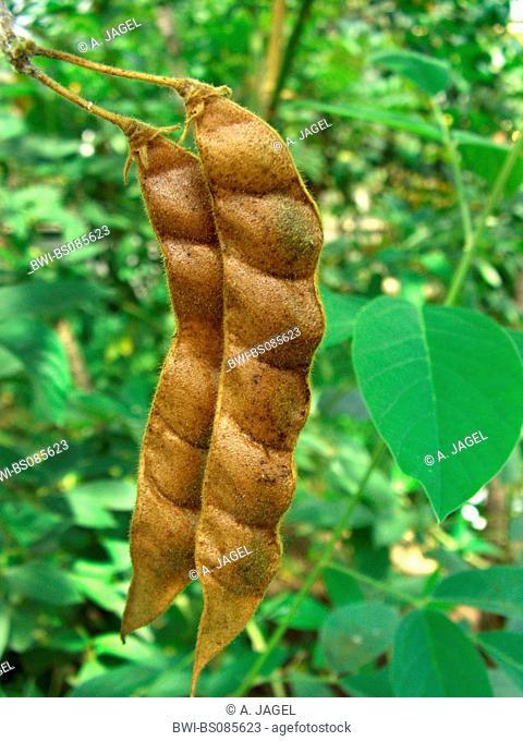 Pigeon pea, Congo pea, Gungo pea, Gunga pea, no-eye pea (Cajanus cajan, Cajanus indicus), fruits