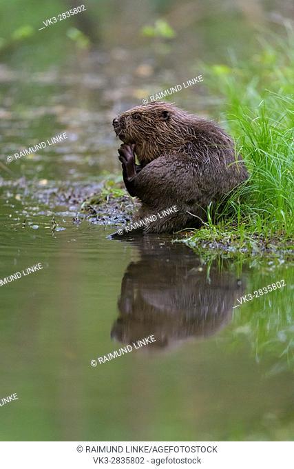 Beaver, European beaver, Castor fiber, Spessart, Bavaria, Germany