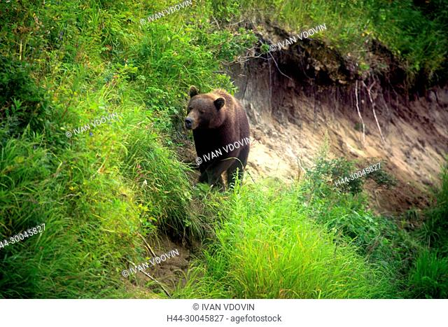 Brown bear, Ursus arctos, Opala river, Kamchatka Peninsula, Russia