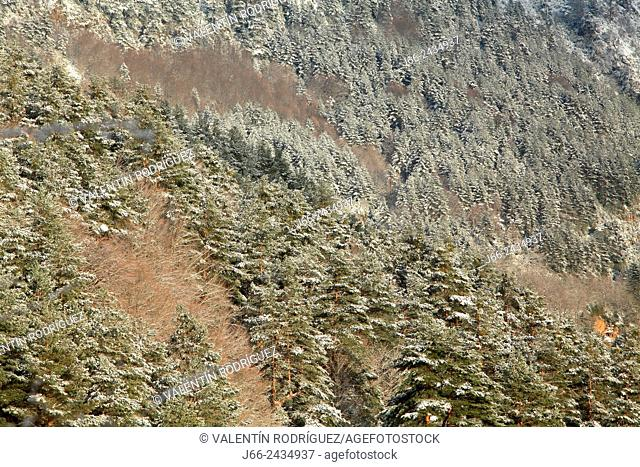Fir forest in Belagua, Roncal valley, Navarre, Pyrenees Mountains, Spain