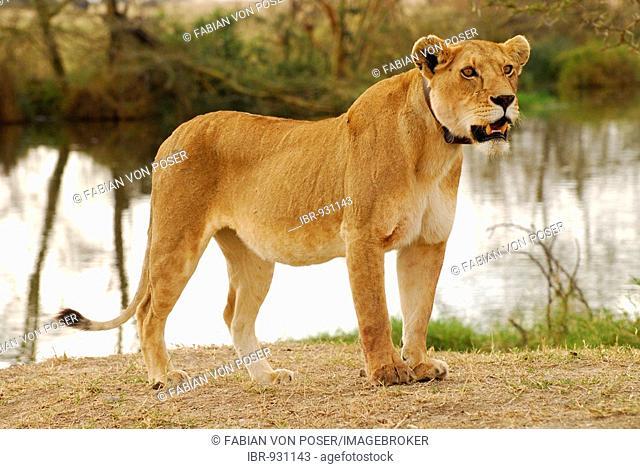 Lioness (Panthera leo) with transmitter collar, Serengeti National Park, Tanzania, Africa