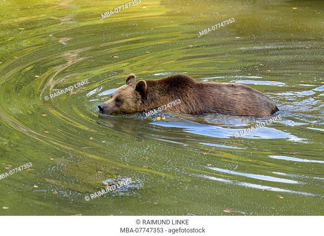 Brown bear, Ursus arctos, in pond, Germany