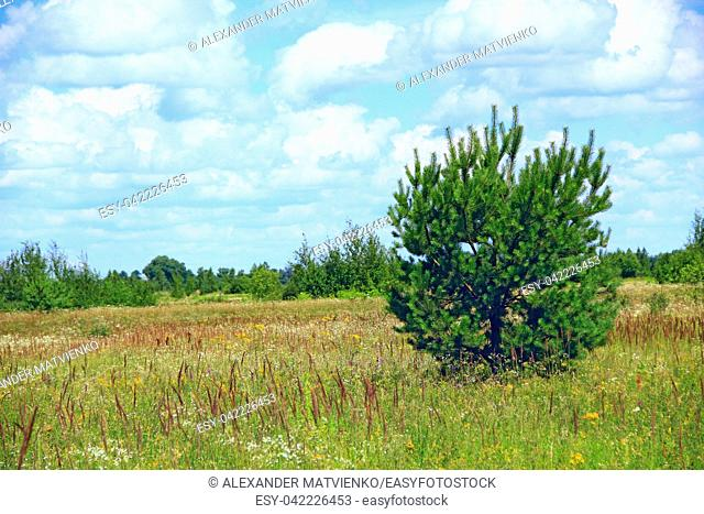 Young pine growing in summer field. Meadow landscape with field of grass pine and blue sky. Wild nature. Summer landscape with pine