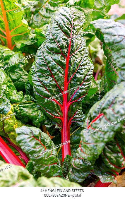 Close up of chard leaf, (beta vulgaris)