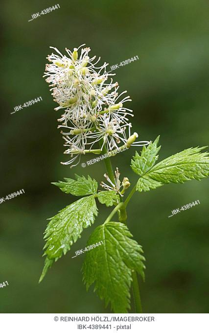 Eurasian baneberry (Actaea spicata), Styria, Austria