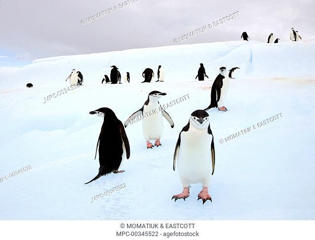 Chinstrap Penguin (Pygoscelis antarctica) group congregating on iceberg, South Shetland Islands, Antarctica