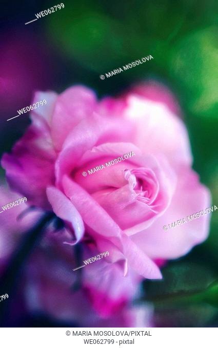 Pink Rose. Rosa hybrid. May 2006, Maryland, USA