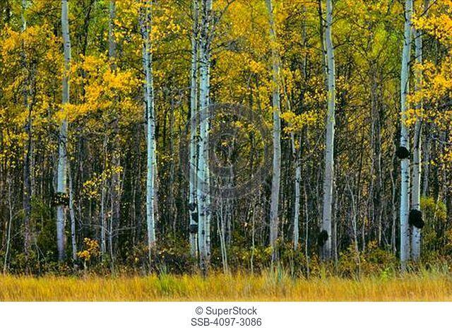 Silver Birch trees Betula pendula in a forest, Alberta, Canada