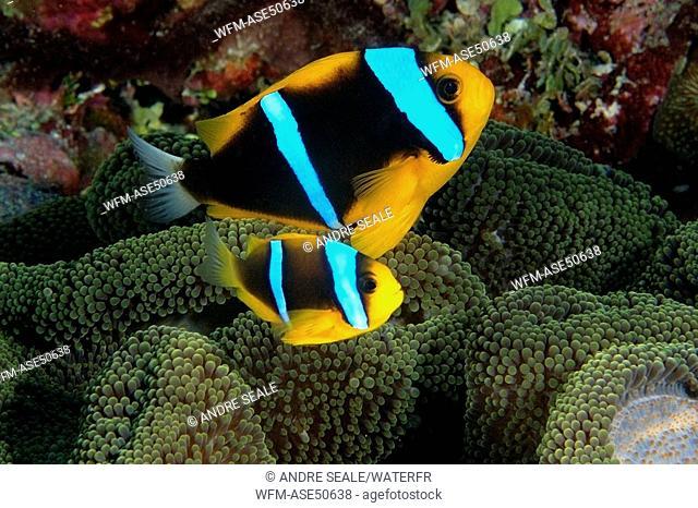 Orange-finned anemonefish in Mertens Sea Anemone, Amphiprion chrysopterus, Stichodactyla mertensii, Namu Atoll, Pacific, Marshall Islands