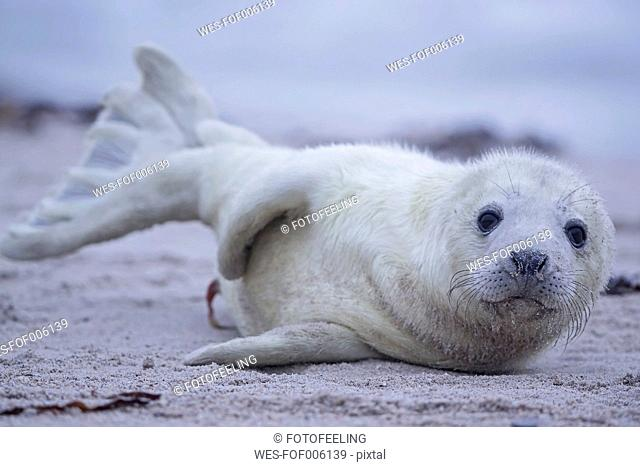 Germany, Schleswig-Holstein, Helgoland, Duene Island, grey seal pup (Halichoerus grypus) lying on the beach