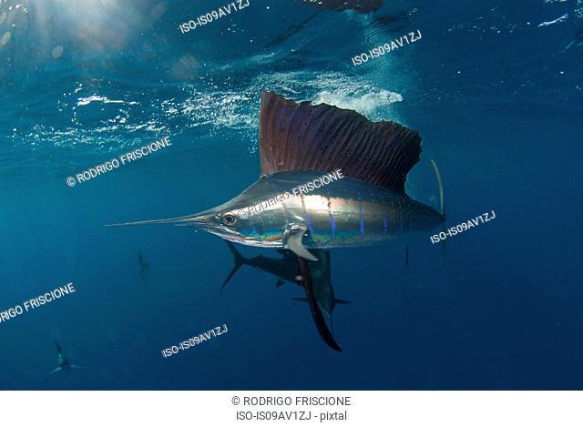 Underwater side view of Atlantic sailfish, Isla Contoy, Quintana Roo, Mexico