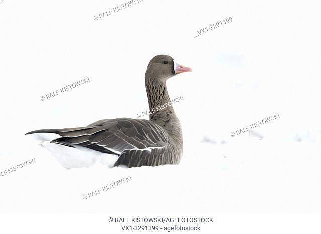 Greater White-fronted Goose / Blaessgans ( Anser albifrons ), nordic winter guest, on snow covered farmland, lying, resting in snow, wildlife, Europe