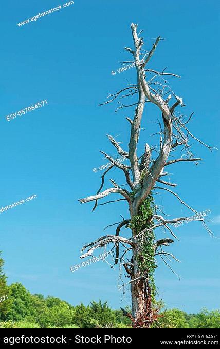 Twisty dead tree serving as trellis for new vines at Trustom Pond National Wildlife Refuge