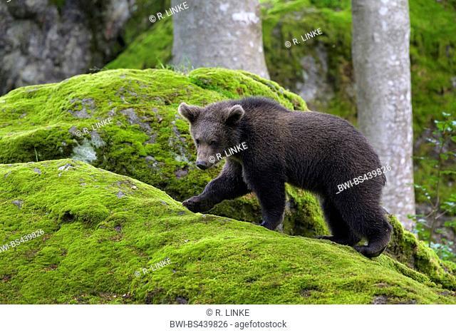 European brown bear (Ursus arctos arctos), bear cub on a mossy rock, Germany, Bavaria, Bavarian Forest National Park