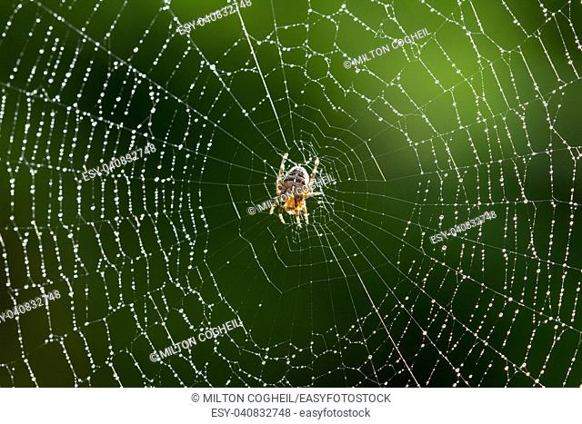 Common garden Spider on it's web just after rainfall