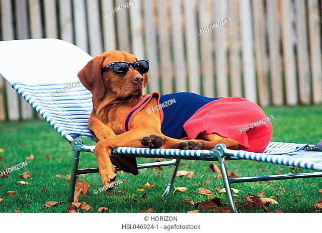 Pet, Dog, Hungarian Visla, Sunbathing, Lying on sun bed, Humorous