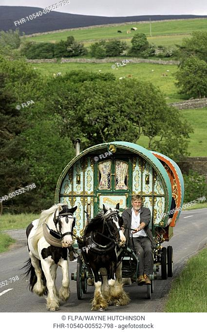 Horse drawn caravan on road, heading to Appleby Horse Fair, on A683 between Sedbergh and Kirkby Stephen, Cumbria, England, june