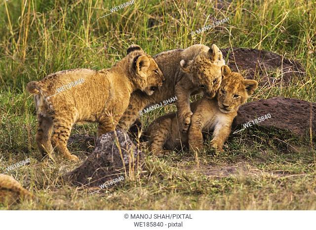 Three lion cubs playing. Masai Mara National Reserve, Kenya