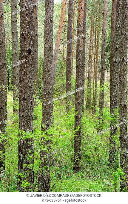 Scots Pines (Pinus sylvestris). Río Cuervo Natural Monument. Serranía de Cuenca. Cuenca province. Castilla-La Mancha. Spain