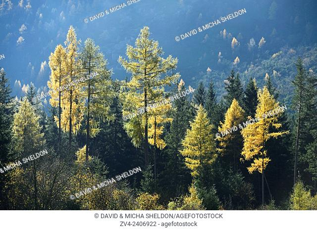 Landscape of yellow European larch (Larix decidua) trees growing in a forest on a mountain in autumn