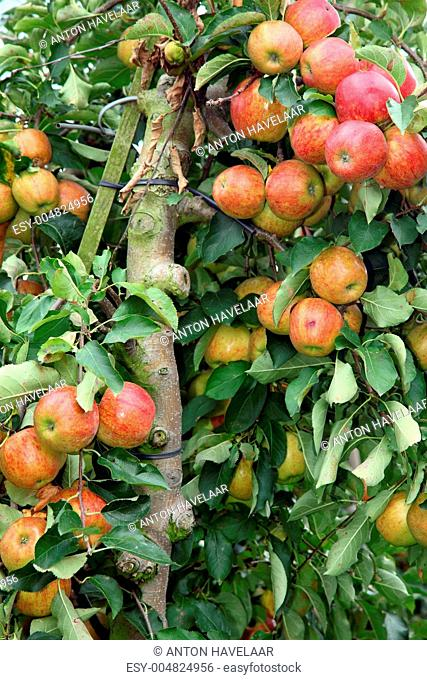 closeup of tree full of apples