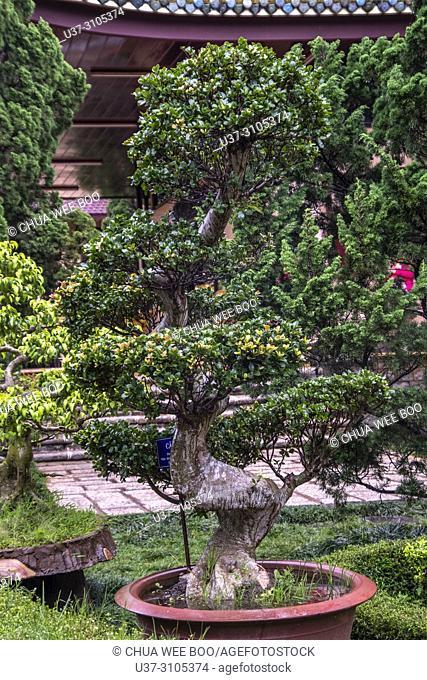 Bonsai Tree in Dalat, Central Highlands, Vietnam