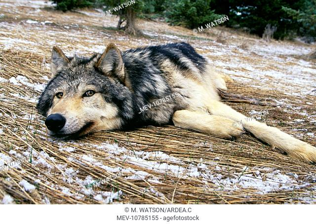 WOLF - lying in snowy scene (Canis lupus)
