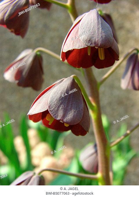 Persian fritillary (Fritillaria persica), flowers