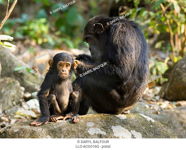 Portrait of Baby Chimpanzee Pan troglodytes Looking at Camera whilst Its Mother Cleans Him  Mahale Mountains National Park, Tanzania