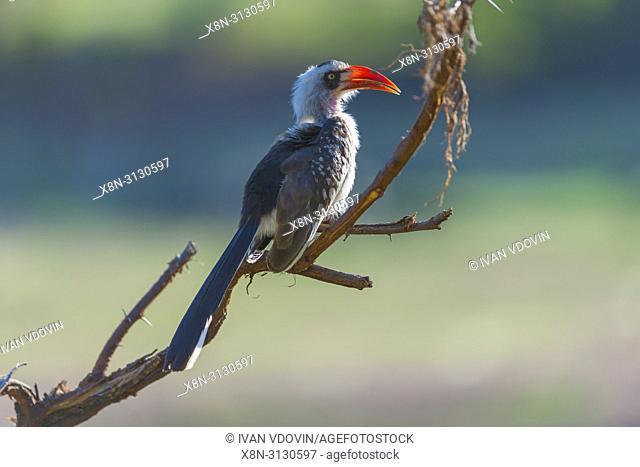 Red-billed Hornbill (Tockus erythrorhynchus), Tanzania, East Africa