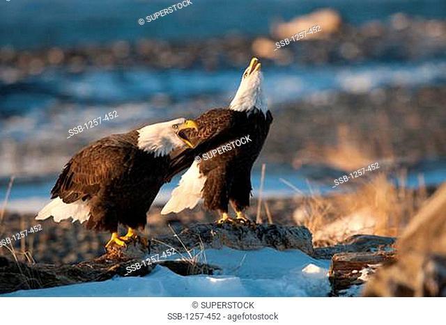 Close-up of Bald eagles Haliaeetus leucocephalus calling