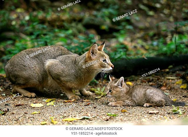 Jungle Cat, felis chaus, Mother with Cub