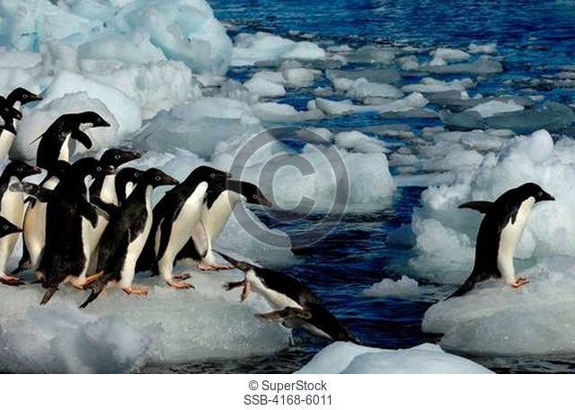 ANTARCTICA, PAULET ISLAND, BEACH, ADELIE PENGUINS ON ICE PEBBLES GOING INTO SEA
