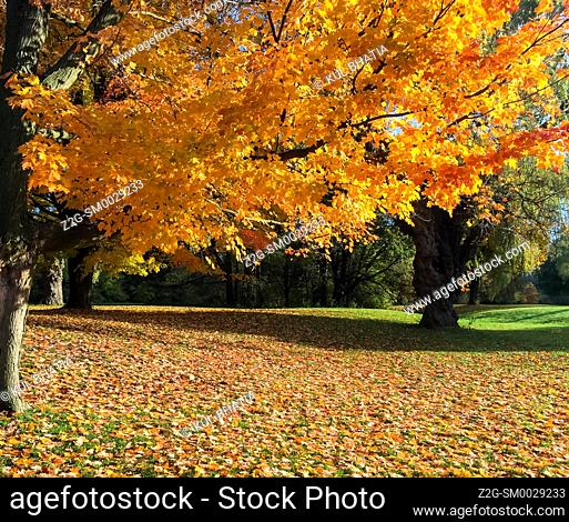 Fall colours, mainly Sugar Maple trees, in a park, Ontario, Canada. Leaves start changing colors in autumn, reaching their peak in a few weeks
