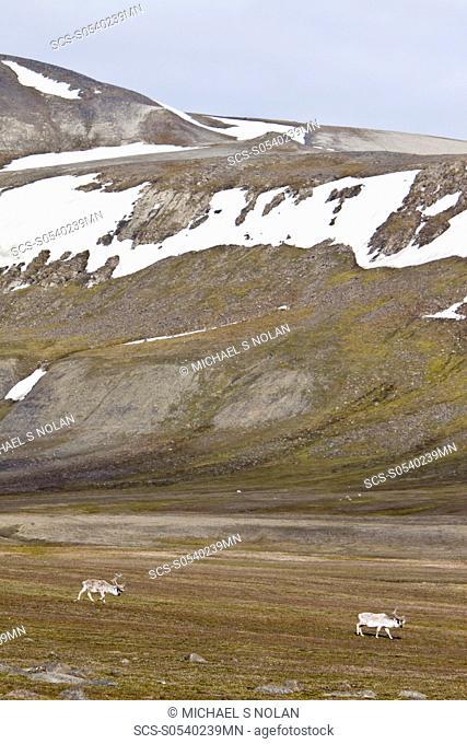 Svalbard reindeer Rangifer tarandus platyrhynchus on the tundra in Habenichtbutka, EdgeØya Island in the Svalbard Archipelago