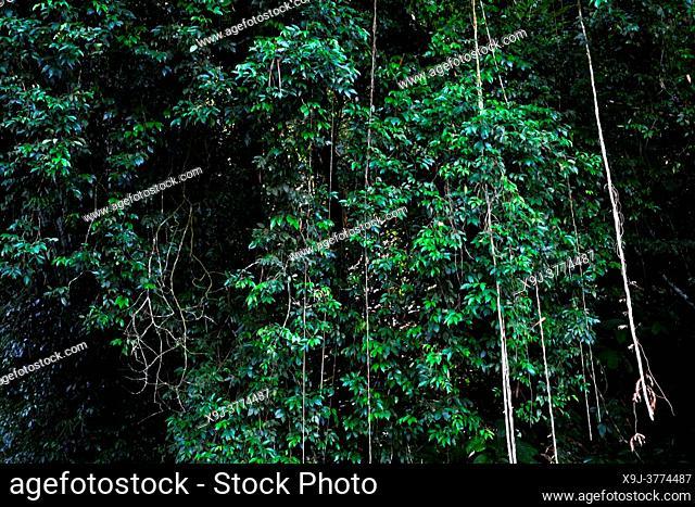 Tropical rain forest lanscape, kuching, sarawak, malaysia, borneo