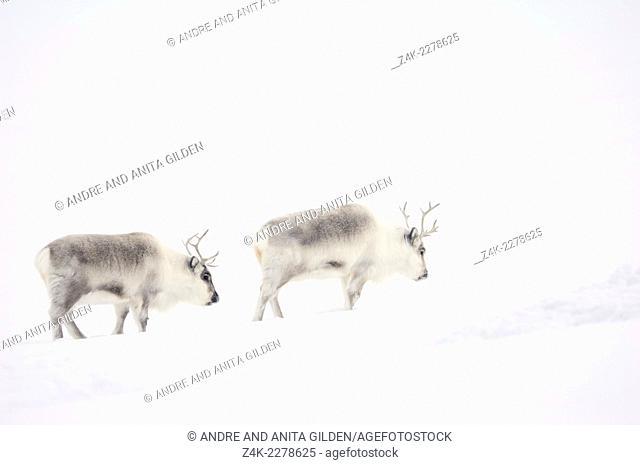 Two Reindeer (Rangifer tarandus) walking through snowy landscape, Spitsbergen (Svalbard)