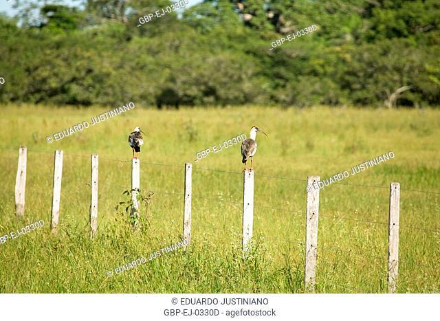 Curicacas On a Fence, Landscape, Brazil