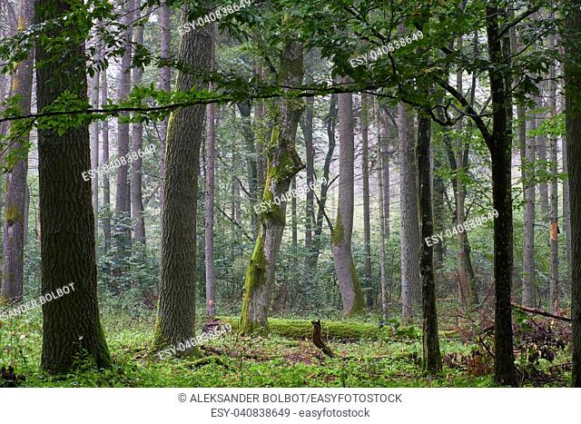 Deciduous stand with hornbeams and oak in summer, Bialowieza Forest, Poland, Europe