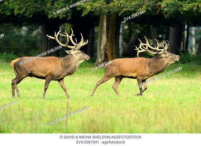 Two Red deer (Cervus elaphus) males running over a meadow at the edge of the woods