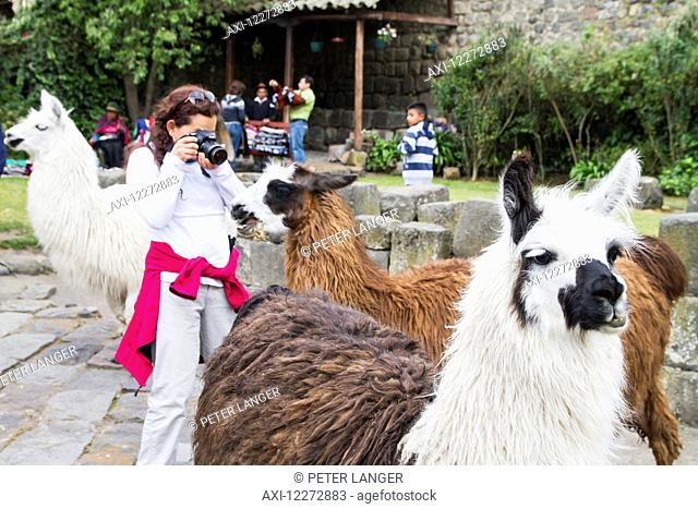 People feeding llamas in the courtyard of Hacienda San Agustin de Callo, Cotopaxi, Ecuador