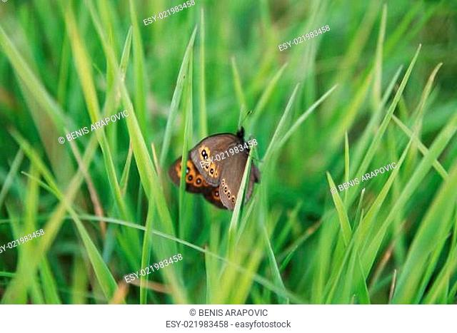 brow butterfly in grass