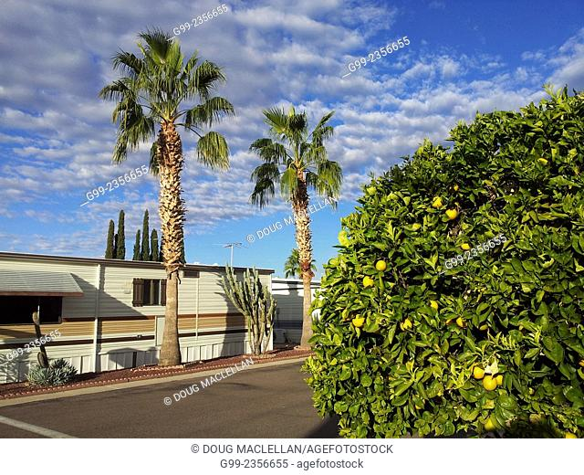 Orange and plam trees in an 55 years and older active living community, Mesa, Arizona, United States of America