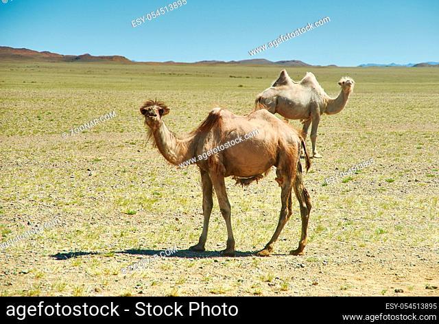 Bactrian or two-humped camel Gobi desert, Mongolia