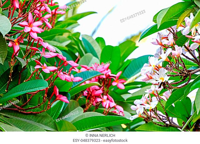 Frangipani Plumeria (Apocynaceae), also called Frangipani and Pua Melia are deciduous tropical trees known for their waxy, intensely fragrant flowers