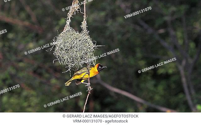 Speke's Weaver, ploceus spekei, Male near its Nest, Bogoria Park in Kenya, Real Time