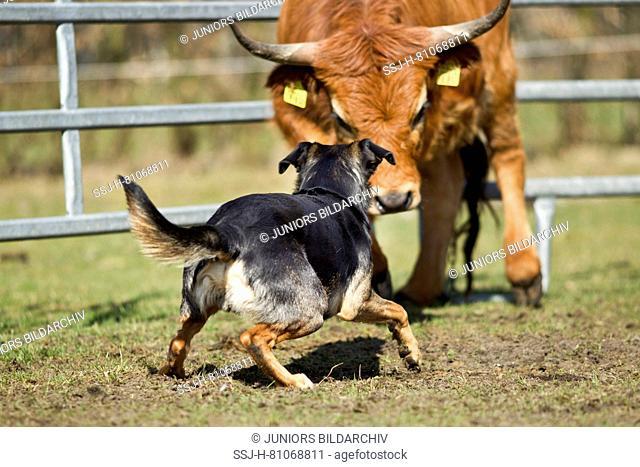 Australian Working Kelpie herding cattle (Aubrac ?). Lower Saxony, Germany
